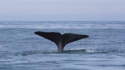 Τα «έθνη» των φαλαινών: Ένας άγνωστος κόσμος, με διαφορετικές κουλτούρες, συνήθειες και