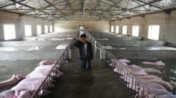 Ο συγκινητικός αποχαιρετισμός δύο Κινέζων αγροτών στα γουρούνια
