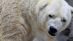 Πέθανε ο Αρτούρος, η «πιο θλιμμένη πολική αρκούδα στον