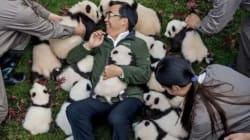 판다를 야생에 돌려보내기 위한 중국 연구자들의 힘겨운