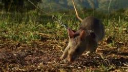 Νέα Ζηλανδία: Εξάλειψη των ποντικιών, αρουραίων, οπόσουμ και άλλων ειδών μέχρι το