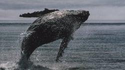 Ολοκληρώθηκε η φετινή περίοδος φαλαινοθηρίας στην Ιαπωνία με την αλίευση 115