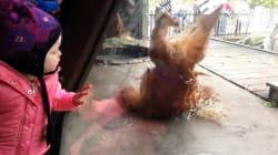 Insolite: ce bébé orang-outan a un don pour le break