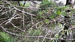 지리산에서도 '희귀종' 구상나무가 집단 고사하고
