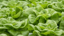 Lettuce Crisis: Beat The Lettuce Shortage, Go