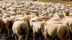Vers la renonciation au sacrifice de moutons lors de l'Aïd Al Idh'ha