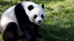 Après des années à tenter de le sauver, le panda géant n'est plus