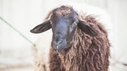 Un mouton pour