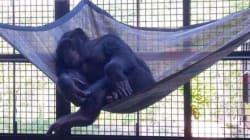 실험용 침팬지들이 새로운 집을 갖게