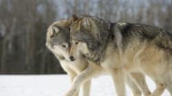 Η Νορβηγία πήρε απόφαση να σκοτώσει τους λύκους τους και εισπράττει την οργή οργανώσεων και