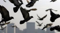 Un pigeon en détention pour une lettre de