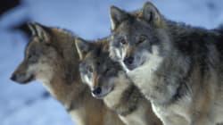 Mυστήριο με τους τρεις λύκους που βρέθηκαν νεκροί καταφύγιο του