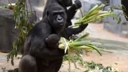Γορίλας δραπέτευσε από το κλουβί του σε ζωολογικό κήπο του Λονδίνου, σκορπίζοντας τον
