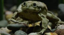 티티카카 호수에서 멸종 위기의 개구리 1만 마리가