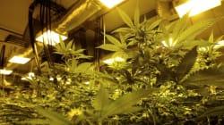 Démantèlement de l'une des plus grandes plantations de marijuana jamais découvertes en