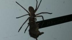쥐를 잡는 무시무시한 거미가