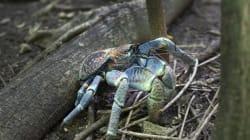 Το μπλε καβούρι απειλεί τις λιμνοθάλασσες της