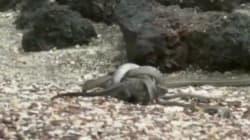 Ce bébé iguane chassé par une centaine de serpents est le meilleur moment télé de