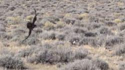 Τελικά ο αετός δεν ήταν...«αετός»: Ένα κυνήγι λαγού που είχε ντροπιαστική εξέλιξη για τον «βασιλιά των
