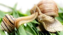 Un escargot gaucher trouve l'amour grâce à Internet (et pour le bien de la