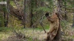 Αρκούδες χορεύουν στον ρυθμό του Jungle Boogie και ξεσηκώνουν το