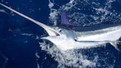 Des quotas de pêche pour l'espadon de Méditerranée bientôt