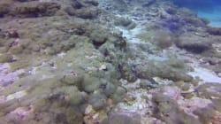 Μπορείτε να βρείτε το χταπόδι; Δείτε το απίστευτο καμουφλάζ του θαλάσσιου πλάσματος στον βυθό της