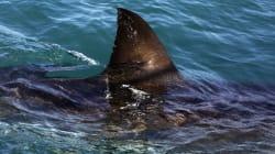 Δικέφαλοι καρχαρίες: Ένα φαινόμενο το οποίο δεν είναι πλέον όσο σπάνιο ήταν