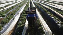 Au Maroc, la campagne agricole s'annonce meilleure que l'année