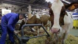 Déficit dans la collecte de lait à Ain Defla: les éleveurs mis en
