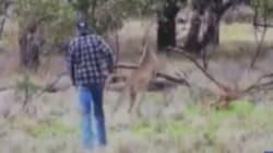 Il boxe un kangourou pour sauver son