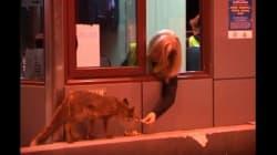 Το βίντεο με την υπάλληλο των διοδίων που ταΐζει μία αλεπού στο στόμα είναι ό,τι πιο τρυφερό είδαμε