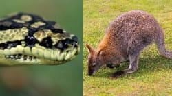 비단뱀이 왈라비를 통째로