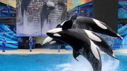 범고래가 상어를 잡아먹는 희귀한 드론
