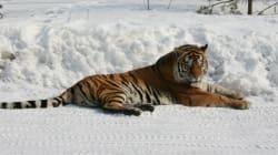 H άγρια ομορφιά της φύσης: Drone κατέγραψε από κοντά τίγρεις στα χιόνια της