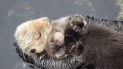 엄마 배 위에서 자는 새끼