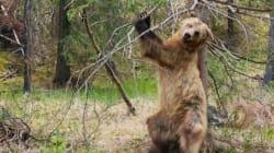 Αρκούδες που χορεύουν και επικές μάχες: 9 φορές που το «Planet Earth II» προσπάθησε να καταπολεμήσει το