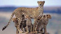 지상에서 가장 빠른 포유류도 멸종의 길을