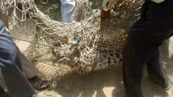 Λεοπάρδαλη απέδρασε στην Ινδία και αφού τραυμάτισε έναν άνδρα, περιφέρεται ακόμα
