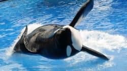 Πέθανε η πιο γνωστή «φάλαινα δολοφόνος»: Η τραγική ιστορία του
