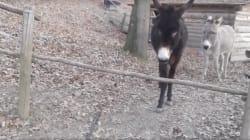 이 똑똑한 당나귀가 울타리를 넘어가는