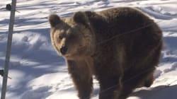 Είδαν το χιόνι και πήγαν για ύπνο οι αρκούδες του