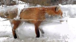 Μια αλεπού παγιδεύτηκε μέσα σε ένα κομμάτι πάγου (και μας θύμισε πόσο αβοήθητοι είμαστε μπροστά στη