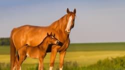 Βασανίζουν άλογα και έγκυες φοράδες κάνοντας τους αφαίμαξη. Οι καταγγελίες για το επικερδές εμπόριο
