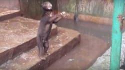 H σκοτεινή πλευρά των ζωολογικών κήπων: Υποσιτισμένες αρκούδες «ικετεύουν» τους επισκέπτες να τις