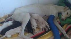 Η μητρική αγάπη δεν γνωρίζει όρια: Σκυλίτσα με σπασμένο πόδι οδήγησε τους γιατρούς στα κουτάβια της για να τα