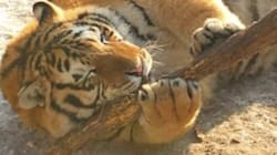 뚱뚱한 고양이 같은 뚱뚱한 호랑이가