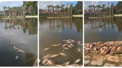 Que font ces poissons morts dans les lacs de