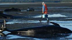 Οι αρχές στη Νέα Ζηλανδία επιχειρούν να απομακρύνουν 300 σορούς κητωδών που ξεβράστηκαν σε ακτή της