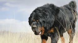 Θιβετιανό Μαστίφ: Η αρχαιότερη φυλή σκύλων στον πλανήτη (και η